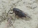 Cicada?
