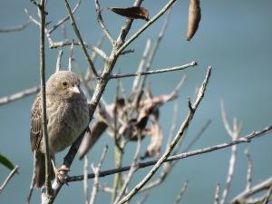 Brown-headed Cowbird (juvenile)