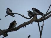 Violet-green and Northern rough-winged swallows