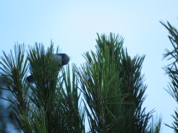Pygmy nuthatch (juvenile)