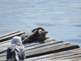 Western gull (+juvenile)