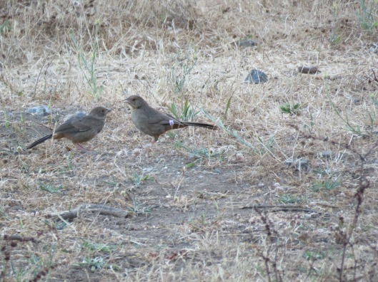 California Towhee (adult feeding juvenile)