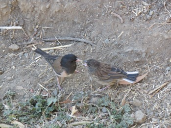Dark-eyed junco + juvenile