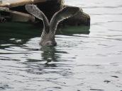 Western Gull (hy)