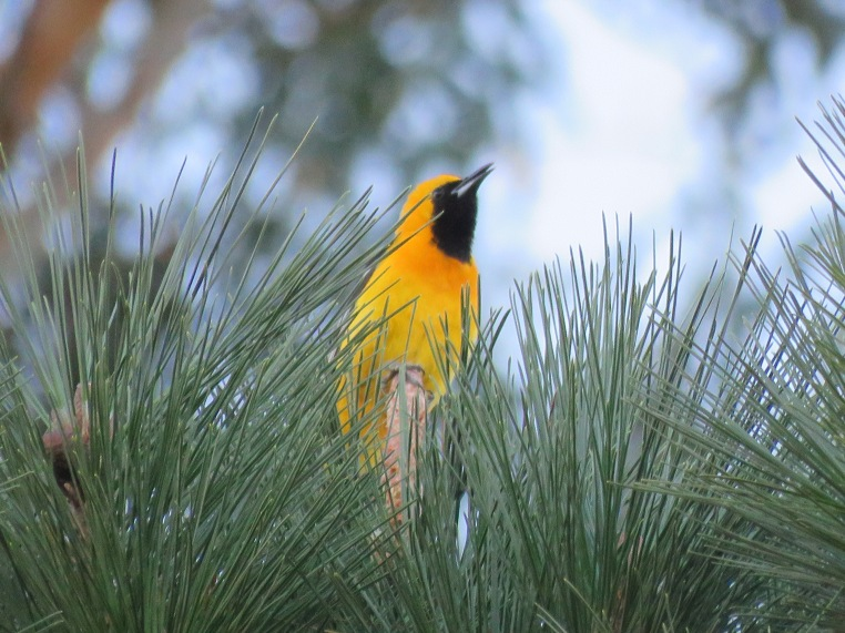 Hooded Oriole (interacting with juvenile)