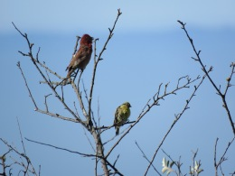 Purple Finch + Less Goldfinch