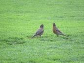 American Robin (juvenile) + parent