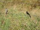Ash-throated flycatcher + BLPH