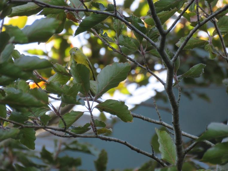 Setophaga petechia
