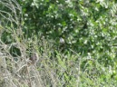 Calypte anna + Passerella iliaca