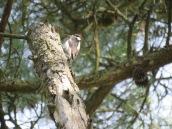 Leuconotopicus villosus