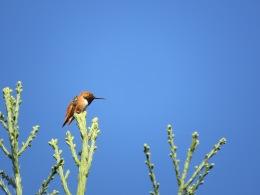 Rufous / Allen's Hummingbird