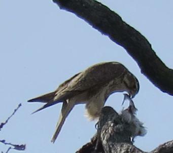 Falco mexicanus