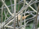 Troglodytes aedon