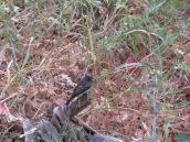 Sayornis nigricans - juvenile
