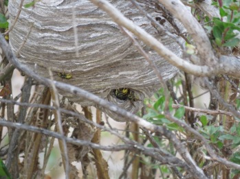 Wasp (yellow jacket?) nest
