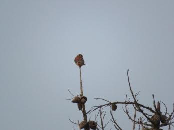 Falco sparverius