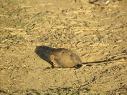 Pocket Gopher - Claremont Canyon Ridge Trail
