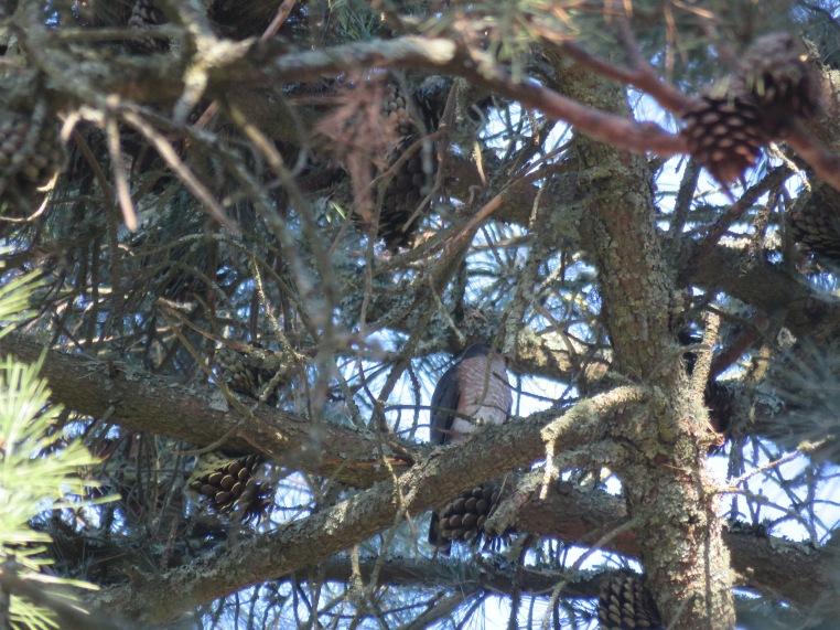 Accipiter striatus
