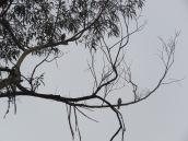 Accipiter striatus, Falco sparverius