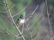 Junco hyemalis