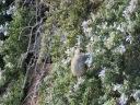 Zonotrichia atricapilla