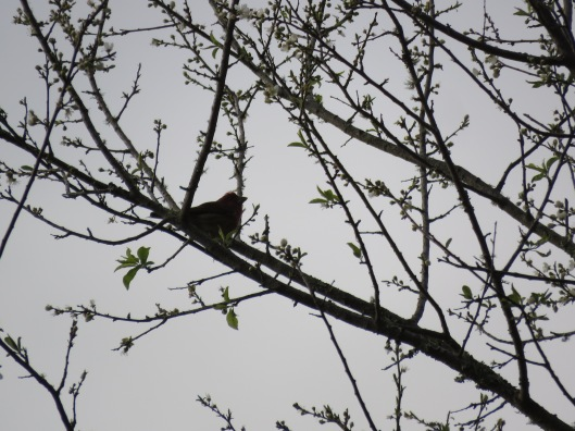 Haemorhous purpureus