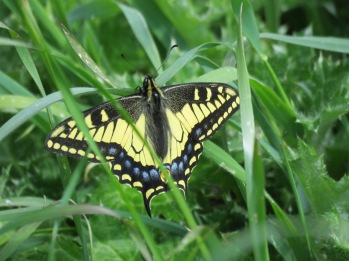 Anise Swallowtail