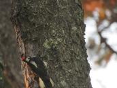 Picoides villosus