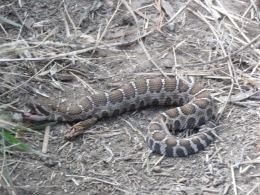 """Western Rattlesnake - 8"""""""