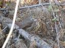 Passerella iliaca [unalaschcensis Group]
